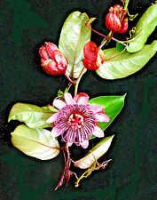 PASSIFLORA AMBIGUA, RARE Passion Flower fruit COLLECTOR exotic seed 10 SEEDS