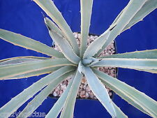 "Agave macroacantha VARIEGATED! Rare! Nice Sized in Gallon Pot! Very Blue! 13"" K2"
