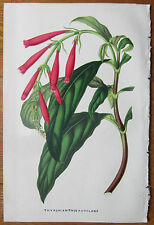 van Houtte: Garden Flowers Thyrsacanthus from Colombia - 1851