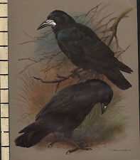 VINTAGE BIRD PRINT ~ THE ROOK & CARRION CROW ~ WITH DESCRIPTIVE TEXT PAGE