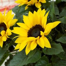 Helianthus 'Sunsation' Sunflower Seed Annual 2-3 metres Tall Good Bedding Plant