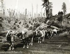 Redwood Logging photo Oxen Pulling Giant Sequoia Trees California Vintage 1900
