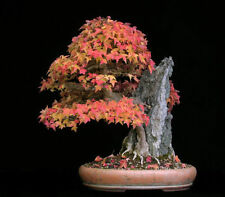 5 Trident Maple, Acer buergerianum, Tree Seeds (Fall Colors)