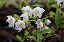 Deutzia Elegantissima Fasciculata Beauty Bush 9cm Pot