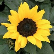 30 INCREDIBLE DWARF SUNFLOWER Helianthus Annuus Seeds