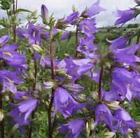Wildflower Seeds - Nettle-leaved Bellflower - 1250 Seed
