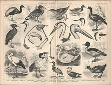 1874 PRINT ORNITHOLOGY WADING & SWIMMING BIRDS STORK SWAN DUCK COOT PELICAN etc