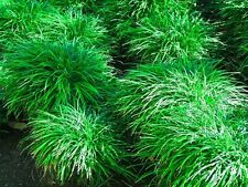 Ophiopogon japonicus - mondograss, fountainplant, monkeygrass - 5 plants