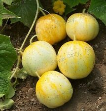 All Weather100 Lemon cucumber Seeds All Year Round Non Gmo Heirloom