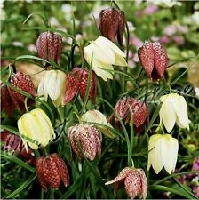8 FRITILLARIA MELEAGRIS SNAKE'S HEAD CHEQUER LILY BULB CORM AUTUMN GARDENING