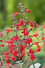 50 Graines Sauge Vivace Ecarlate (Salvia coccinea) Scarlet Sage Seeds