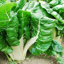 SWISS CHARD - FORDHOOK GIANT - 100 SEEDS - ORGANIC