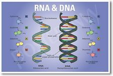 DNA & RNA Biology NEW EDUCATION CLASSROOM SCIENCE BIOLOGY POSTER