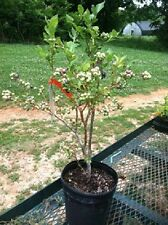 Duke Blueberry Plants