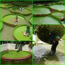 6 SEED Victoria Amazonica , Giant Water Lily, Victoria water lily, From Thai