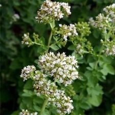 Oregano- Herb- 200 Seeds - 50 % off sale