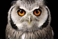 OWL - FACE POSTER 24x36 - NATURE BIRD 34203