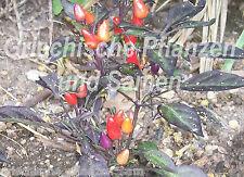 EXPLOSIVE EMBER Chili bunt* für Balkon+Zimmer *10 Samen