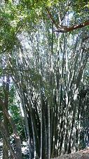 Dendrocalamus giganteus coltivazione in vendita ebay for Vendita piante bambu gigante