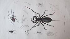 Gravure en couleur du XIXè s. Thélyphone Themisto Thérate Théridion. Entomologie