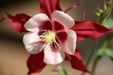 25 CRIMSON STAR COLUMBINE Red & White McKana's Giant Aquilegia Flower Seeds