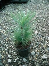 Pinus yunnanensis - seed  grown in 9cm pot ideal bonsai subject