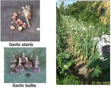 Heirloom Hardneck Garlic Starts 25+ -Best Tasting EVER!!! Non-GMO!!!