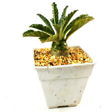 DORSTENIA LAVRANI grown from seed EXOTIC SUCCULENTS FOR SALE COLLECTIBLE BONSAI