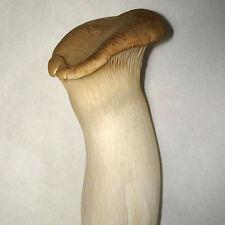 Setas de cardo (Gírgola - Pleurotus eryngii) - 250 gr.