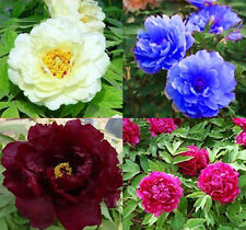 80 seeds China's Peony Seed Paeonia suffruticosa Tree 4 kinds white flower etc.