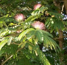 "JAPANESE MIMOSA SILK TREE ALBIZIA JULIBRISSIN PINK BLOOMS BONSIA 8-12"" SAPLING"