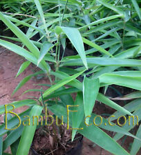 Piantina Bambù - Phyllostachys Pubescens (Edulis) - MOSO  Bamboo