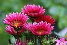 30+ Kiss Rose Gazania Flower Seeds  / Reseeding Annual