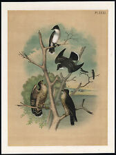 Antique Print-KINGBIRD-PIGEON HAWK-TYRANT FLYCATCHER-Jasper-1878