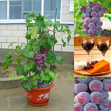 Unique! GRAPE 'Okayama' (Vitis vinifera) JAPANESE Short vines! SEEDS.