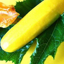 COURGETTE - GOLDRUSH [F1 Hybrid] - 4 Seeds [..classic, golden-yellow fruits]
