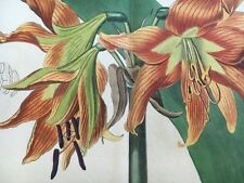 Edwards Botanical Register 1815 Handcolored REFLEX AMARYLLIS Etching FOLDOUT