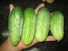 Boston Pickling Cucumber 40 organic Seeds pepper FREE SHIPPING