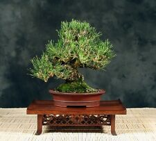 "10 Graines Pin noir du Japon, Black Pine ""Pinus thunbergii"" Seeds"
