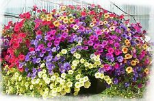 TRAILING PETUNIA FLOWER MIX (1000 SEEDS)