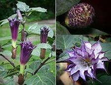 Datura Metel Seeds - BLACK DEVIL - Fragrant, Rare Tropical - 10 Seeds