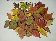 50  PRESSED DRIED SMALL/MEDIUM,LEAVES ,WEDDING SUPPLIES,DECORATIONS,CRAFTS