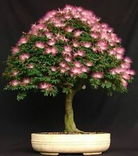 10 Mimosa (Albizia Julibrissin) Seeds, Rare Exotic Home Bonsai Tree Seeds