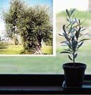 Ölbaum Samen exotische Blühbäume Blühpflanzen für das Frühjahr den Garten Balkon
