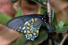 432055 Pipe Vine Swallowtail Battus Philenor A4 Photo Print