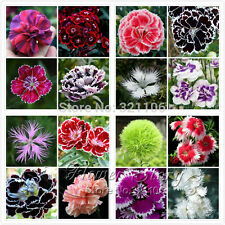 Promotion! 200 Dianthus Seeds 16 Kinds Mixed Packed Sweet William flower