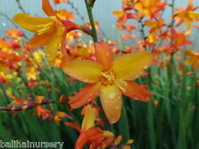 3 New Crocosmia Orange Pekeo ® tricolour flowers garden plant