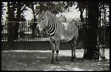 Glass Magic Lantern Slide A ZEBRA NEAR A TREE C1910 PHOTO ZOO