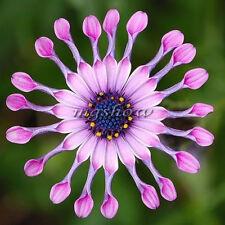 50Pcs Pink African Daisy Osteospermum Ecklonis Plant Flower Garden Rare Seeds