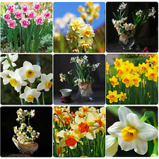 100x Mixed Colors Daffodil Narcissus Flower Bonsai Seeds Home Garden Plant Decor